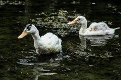 Muscovy kaczki dopłynięcie Fotografia Stock