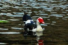 Muscovy kaczki dopłynięcie Zdjęcia Royalty Free