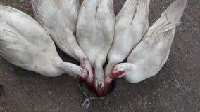 Muscovy kaczki jedzą brown ryż zdjęcie wideo