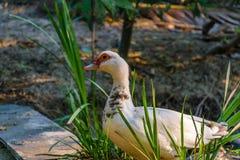 Muscovy lub Barbary kaczka Obraz Royalty Free