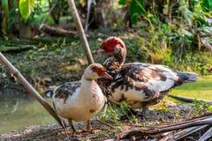 Muscovy lub Barbary kaczka Zdjęcie Royalty Free