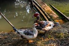 Muscovy lub Barbary kaczka Zdjęcie Stock