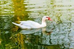 Muscovy lub Barbary kaczka Zdjęcia Stock