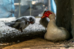 Muscovy ou pato de Barbary Imagens de Stock
