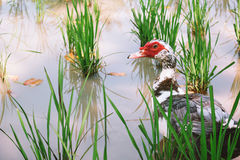 Muscovy Royalty Free Stock Image