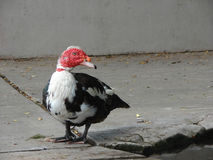 Muscovy red faced duck on a cement sidewalk Stock Photo