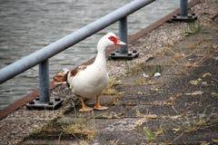 Muscovy stodde eend langs de rivieroever van Hollandse IJssel in IJsselstein Nederland stock foto's