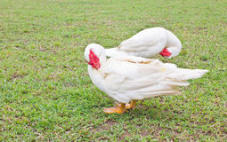 Muscovy White Duck Clean Itself. Muscovy White Duck Clean Itself On Green Grass Stock Image