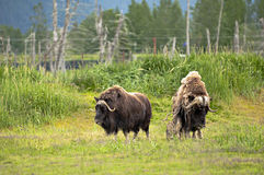 Muscs d'Alaska Photos stock
