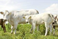Musculair weiße Kuh und Kalb Lizenzfreie Stockfotos