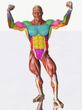 Muscular anatomical man Royalty Free Stock Photos