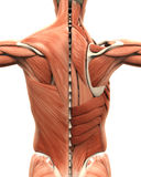 Muscular Anatomy of the Back. Isolated on white background. 3D render vector illustration