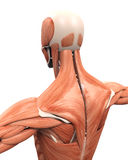 Muscular Anatomy of the Back Stock Image