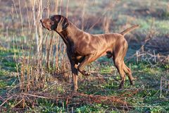 A muscular chocolate brown hound, German Shorthaired Pointer, a thoroughbred, stands among the fields in the grass in the point. A muscular chocolate brown stock images