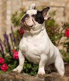 Muscular French Bulldog looking up Royalty Free Stock Photo