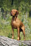 Muscular hunting dog posing outdoors Stock Photos