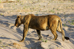 Muscular lioness Royalty Free Stock Photos