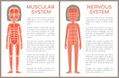 Muscular and Nervous System Anotomical Banner. Muscular and nervous system anatomical banner, color vector illustration of female organism with various muscles royalty free illustration