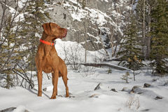 Muscular pointing dog outdoors Stock Photography