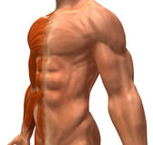 The muscular system. Sculpted in 3D clay royalty free illustration