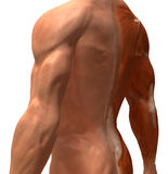 The muscular system. Sculpted in 3D clay royalty free stock photography