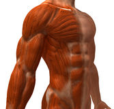 The muscular system. Sculpted in 3D clay stock illustration