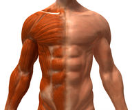 The muscular system Stock Images