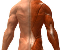 The muscular system Royalty Free Stock Image
