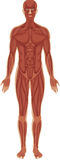 Muscular system. Detailed illustration of the muscular system royalty free illustration