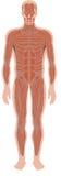 Muscular system Stock Photos