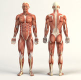 Muscular system Stock Image