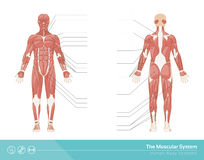 The muscular system Stock Photography