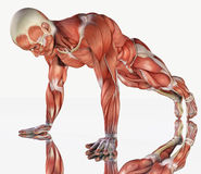 Muscular system of male exercising Stock Image