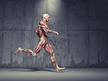 The muscular system Royalty Free Stock Photo