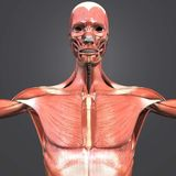 Muscle Anatomy Anterior view Stock Illustration