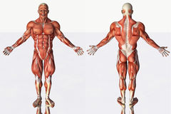 Muscular system of smiling male Stock Photo