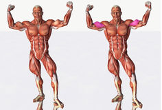 Musculoskeletal diagram, man flexing biceps Royalty Free Stock Photo