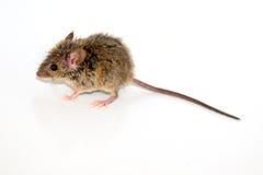 Musculus de Mus del ratón de casa en el fondo blanco Imagen de archivo