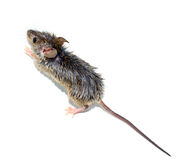 Musculus de Mus del ratón de casa en el fondo blanco Fotografía de archivo libre de regalías