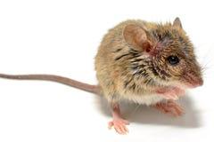 Musculus de Mus del ratón de casa en el fondo blanco Imagen de archivo libre de regalías