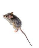 Musculus de Mus del ratón de casa en el fondo blanco Imágenes de archivo libres de regalías