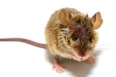 Musculus de Mus del ratón de casa en el fondo blanco Imagenes de archivo