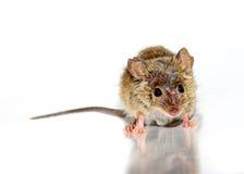 Musculus de Mus del ratón de casa en el fondo blanco Fotos de archivo
