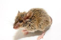 Musculus de Mus del ratón de casa en el fondo blanco Foto de archivo