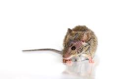 Musculus de Mus del ratón de casa en el fondo blanco Fotografía de archivo