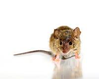 Musculus de Mus do rato de casa no fundo branco fotografia de stock
