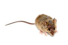 Musculus Mus домовой мыши на белой предпосылке стоковые изображения rf