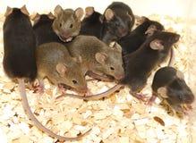 Mäuse Lizenzfreie Stockfotos