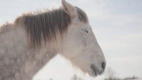 Museau adorable d'un cheval blanc se tenant sur un ranch de pays Les chevaux marchent dehors pendant l'hiver banque de vidéos