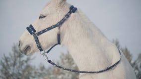 Museau adorable d'un cheval blanc se tenant sur un ranch de pays Les chevaux marchent dehors pendant l'hiver clips vidéos